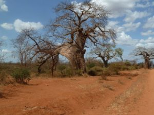 Adansonia digitata Yatta Gap
