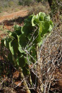 Adenia keramanthus