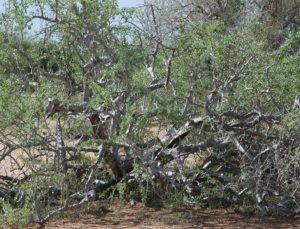 Boswellia neglecta Garissa