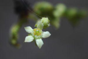 Boswellia neglecta flower