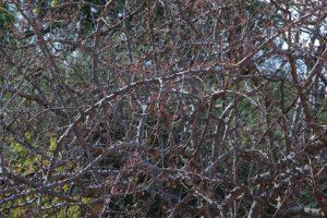 Boswellia neglecta fruiting