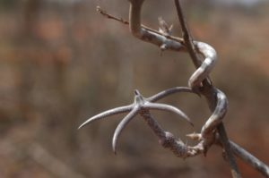 Ceropegia variegata flower