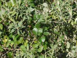 Cissus sp. Londiani