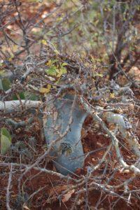 Commiphora blue bark