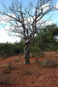 Commiphora mildbraedtii