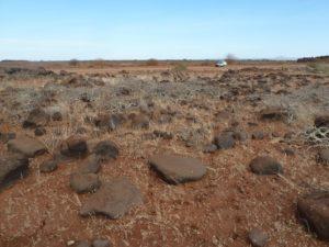 Commiphora sp. Logologo field
