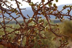 Commiphora sp. fruiting