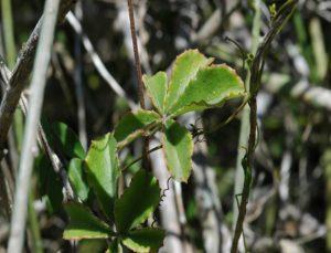 Cyphostemma adenocaule leaves