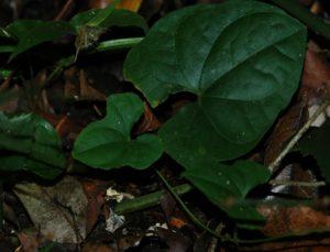 Dioscorea sp. Arabuko