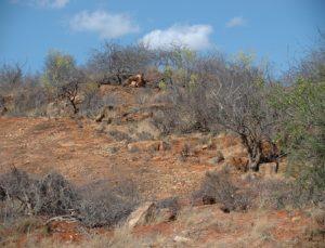 Dorstenia Hill