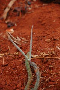 Echidnopsis sp. Wangala