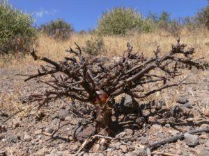 Euphorbia cuneata Gof Choba