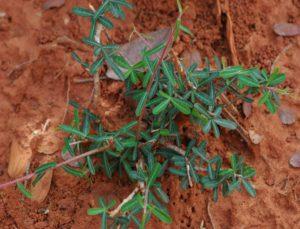 Euphorbia cuneata ssp. pumilans