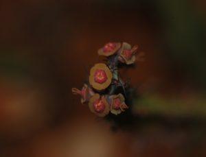 Euphorbia furcata Taru