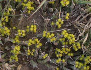 Euphorbia similiramea flowering