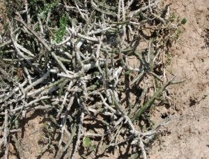 Euphorbia sp. Bamba