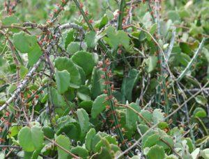 Euphorbia sp. Garsen flowering