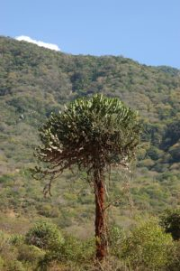 Euphorbia tree Maungu