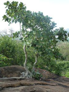 Ficus sp.Ghazi