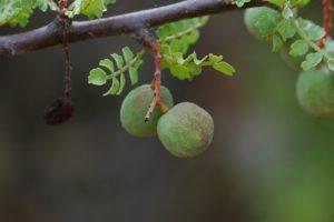 Lannea elata fruits