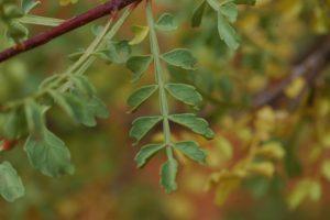 Lannea elata leaves