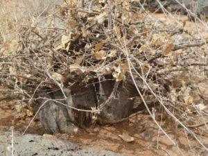 Momordica sessilifolia