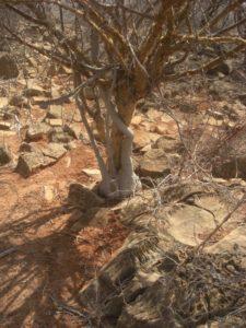 Momordica sessilifolia Rhamu