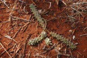 Monadenium guentherii