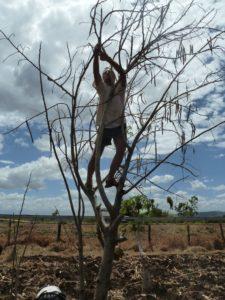 Moringa collecting seeds