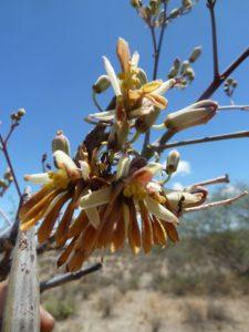 Moringa rivae flower