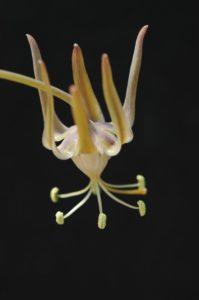 Ornithoglossum sp.