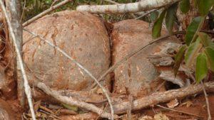 Pyrenacantha malvifolia double