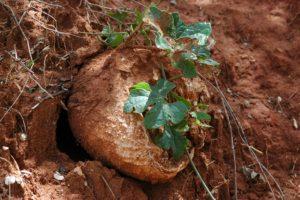 Pyrenacantha vitifolia