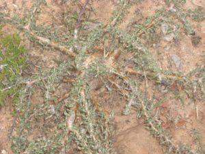 Sesamnothamnus busseanus