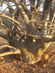 Sesamnothamnus busseanus trunk