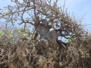 Sterculia rynchocarpa on cliffs