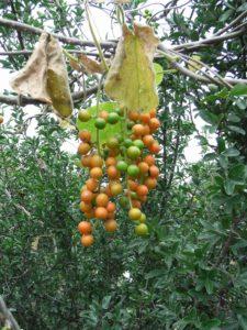 Tinospora-caffra-fruiting